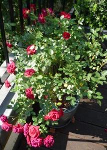 George Best Roses
