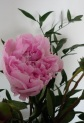 Lovely Peonie