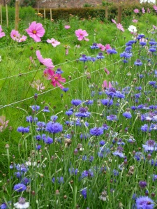 Cosmos and Cornflowers