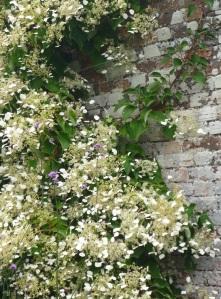 hydrangeas against old brick wall
